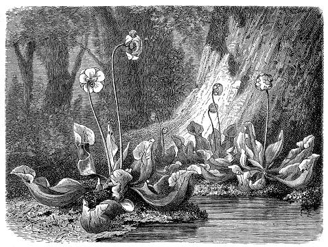 Purple pitcher plant, northern pitcher plant, or side-saddle flower(Sarracenia purpurea)