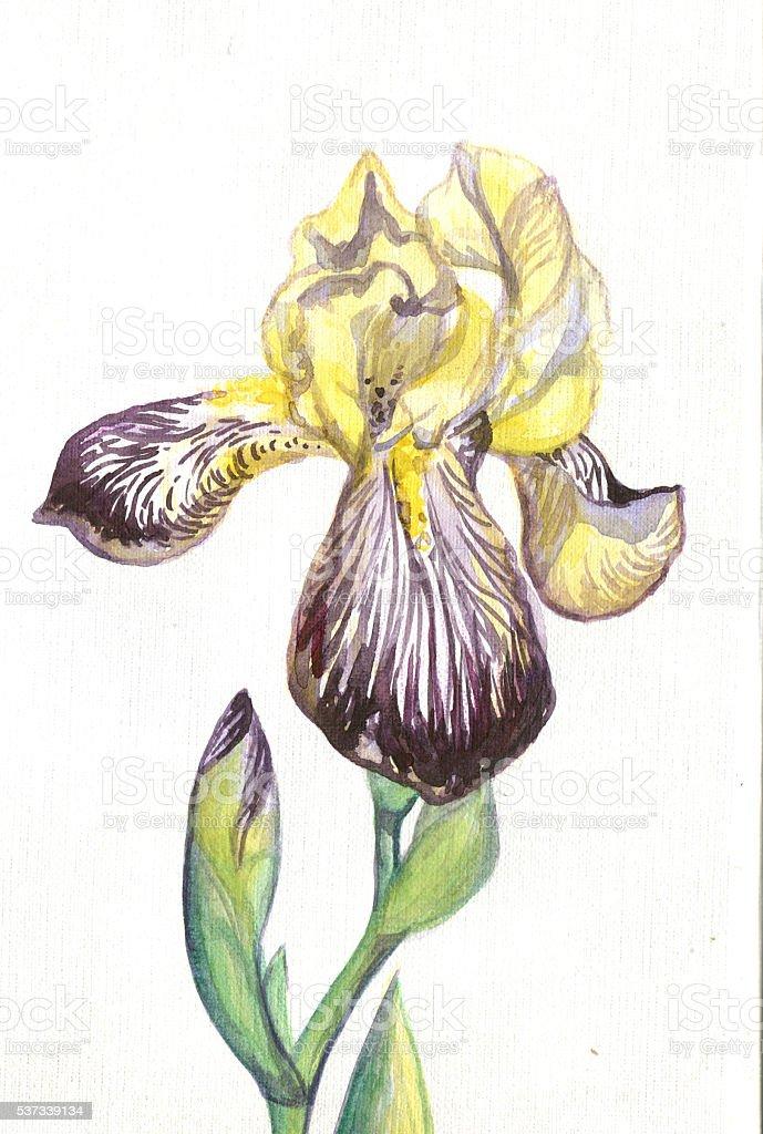 Jaune Fleur Iris Pourpre Peinture Aquarelle Vecteurs Libres De