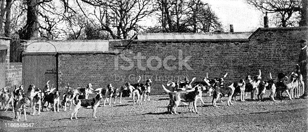 Pytchley Hunt dog pack in Pytchley, Northamptonshire, England. Vintage etching circa late 19th century.