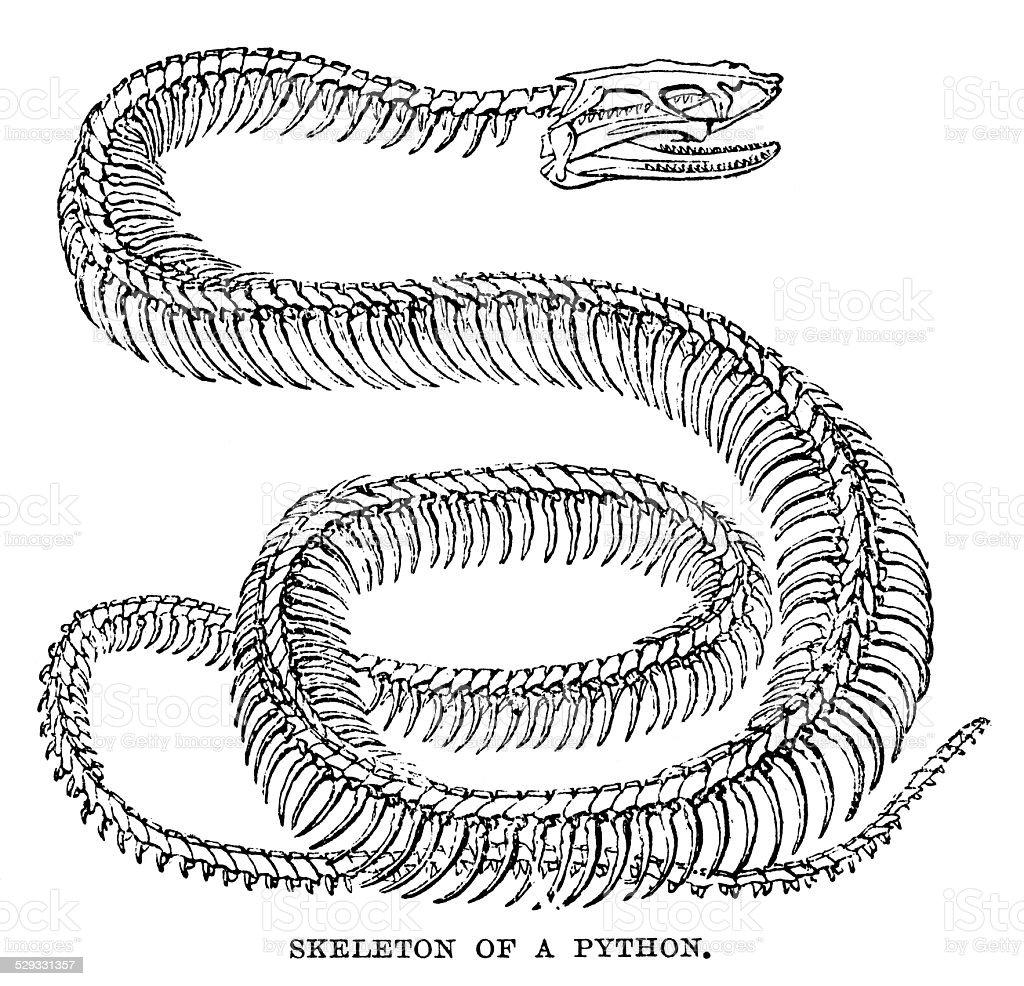 Python Skeleton vector art illustration