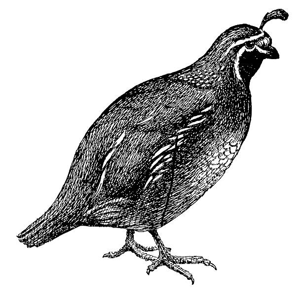 royalty free quail clip art vector images illustrations istock