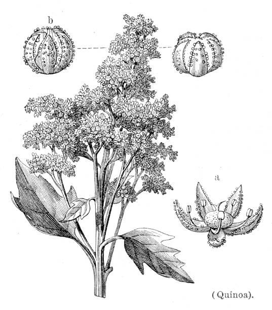 ilustrações de stock, clip art, desenhos animados e ícones de quinoa botanical engraving 1894 - quinoa