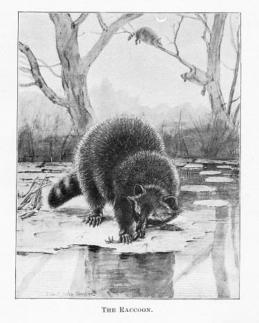 Raccoon eats a fish in natural winter environment. Raccoons in background. Illustration published 1898 book about animals in North America. Source: Original edition is from my own archives. Copyright has expired and is in Public Domain.