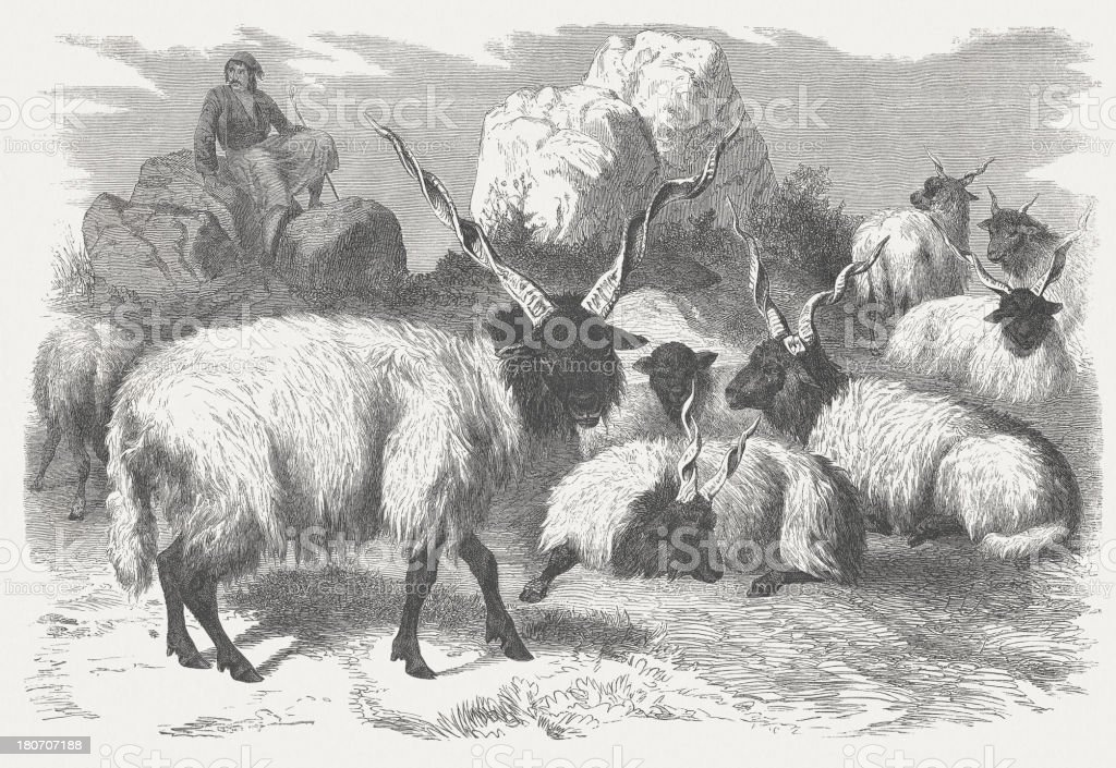 Racka sheeps (Ovis aries strepsiceros Hungaricus)wood engraving, published 1875 royalty-free stock vector art