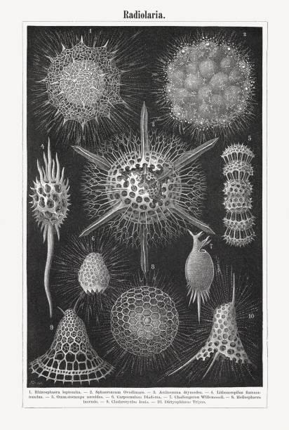 virchows, holzstich, veröffentlicht im jahre 1897 - einzeller mikroorganismus stock-grafiken, -clipart, -cartoons und -symbole