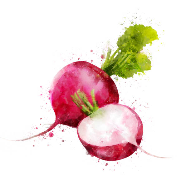 Radish on white background. Watercolor illustration Isolated hand-painted illustration on a white background radish stock illustrations