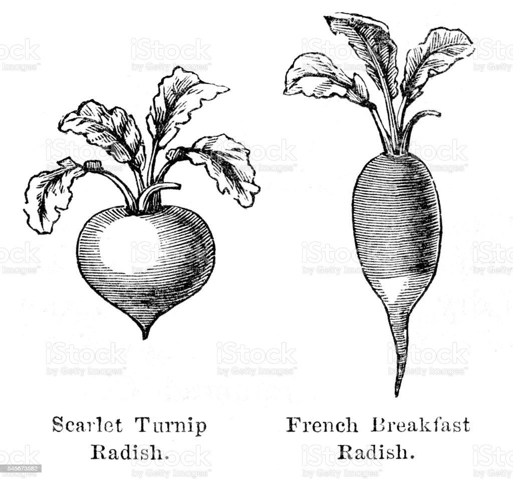 Radish vegetable engraving 1874 vector art illustration