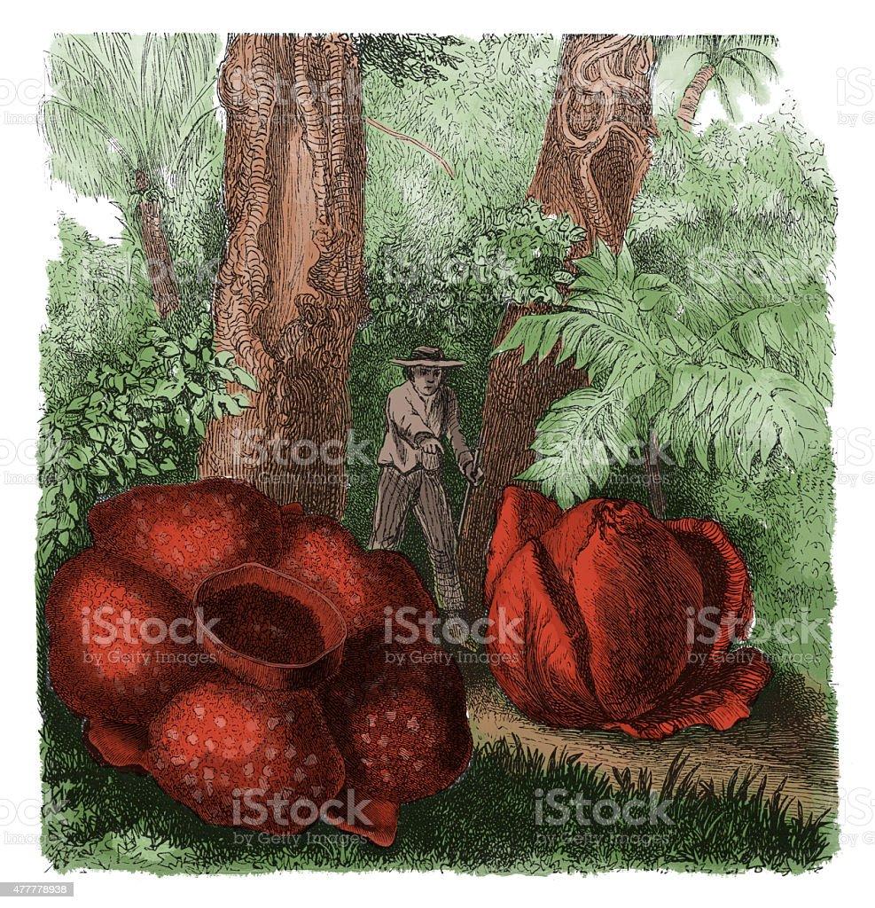 Rafflesia Arnoldi (anciens gravure botanique - Illustration vectorielle