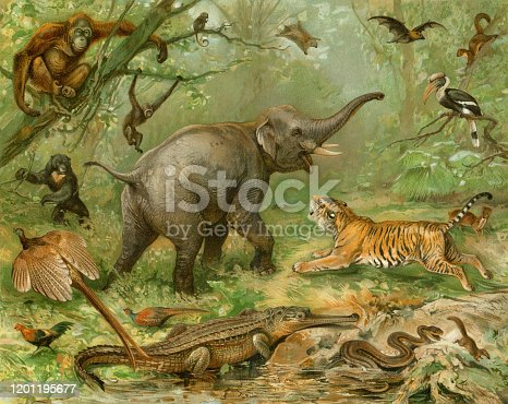 Rain Forest Bengal Tiger attacking elephant Original edition from my own archives Source :