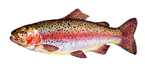 Rainbow trout. Fish collection. Healthy lifestyle, delicious food, ichthyology scientific drawings. Hand-drawn watercolor images.