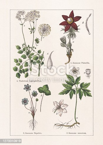 istock Ranunculaceae, chromolithograph, published in 1895 1273310919