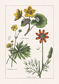 Ranunculaceae: 1) Summer pheasant's-eye (Adonis aestivalis), a-flower and fruit-bearing stem part, b-seed; 2) Buttercup (Ranunculus acris), a-seed; 3) Marsh-marigold (Caltha palustris). Chromolithograph, published in 1895.