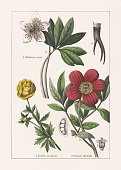 istock Ranunculaceae, Paeoniaceae, chromolithograph, published in 1895 1273329969