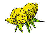 Illustration of a Ranunculus bulbosus, commonly known as St. Anthony's turnip or bulbous buttercup