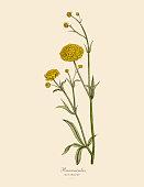 Ranunculus or Buttercup Plants, Victorian Botanical Illustration