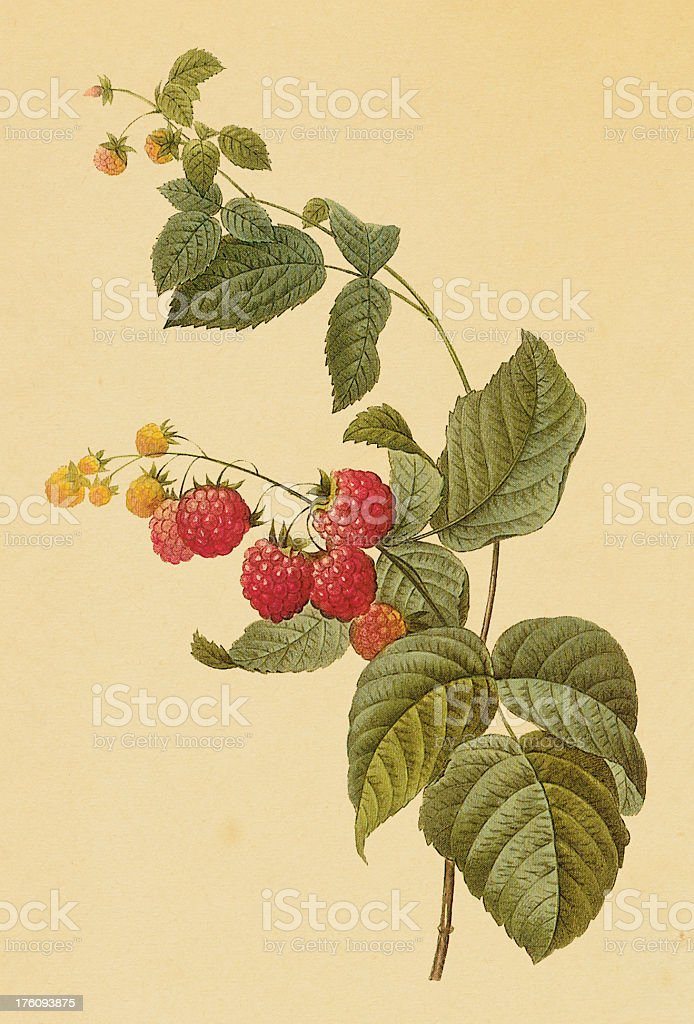 Raspberry | Antique Flower Illustrations vector art illustration