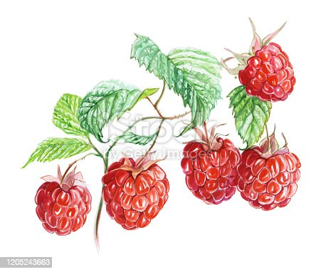 Raspberry berries on a branch. Traditional watercolor. Raspberries from my garden