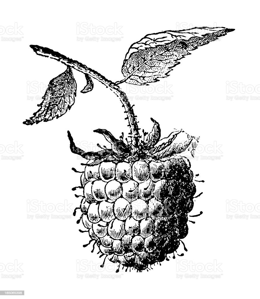 Raspberry Fruit Illustration | Vintage Farmer Garden Clipart vector art illustration