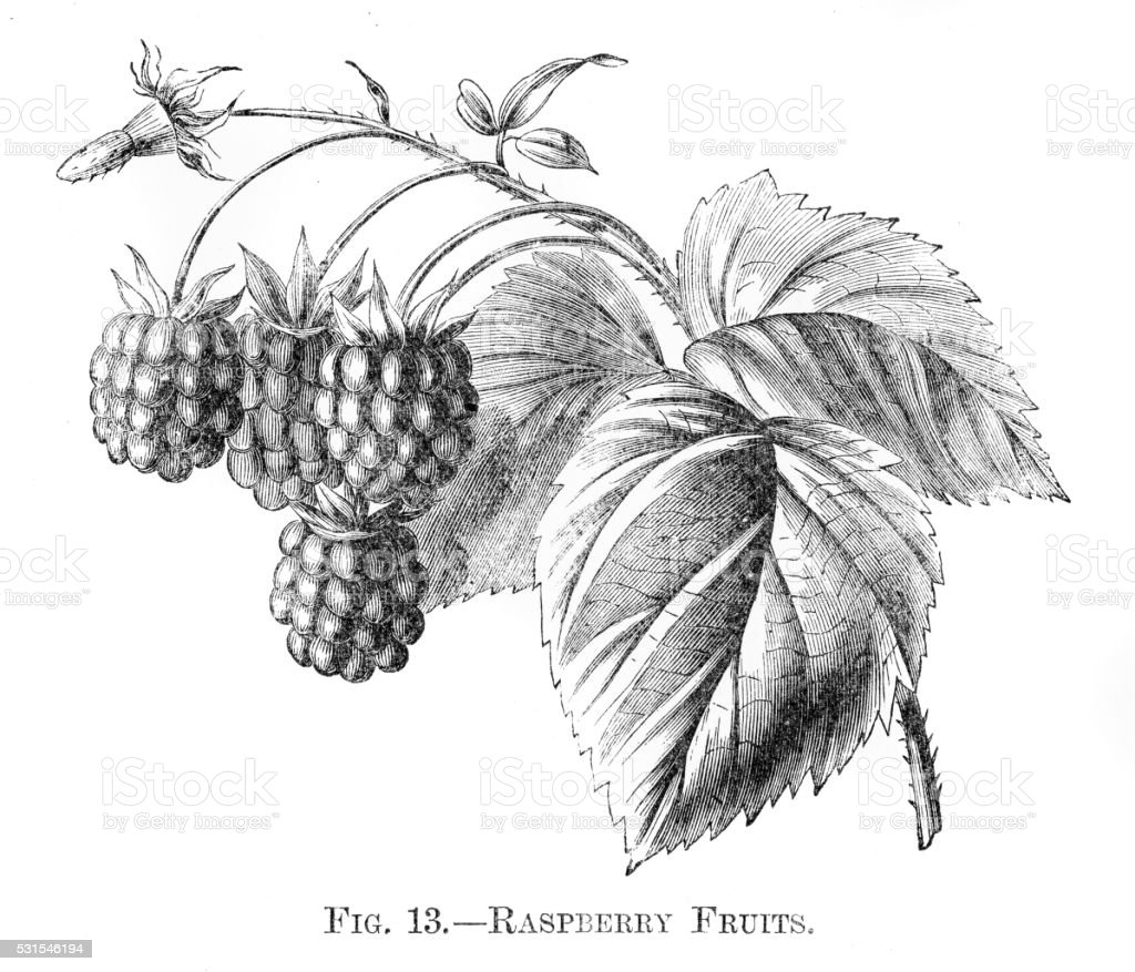 Raspberry fruits engraving 1898 vector art illustration