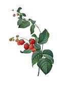 istock Raspberry   Redoute Botanical Illustrations 514346269