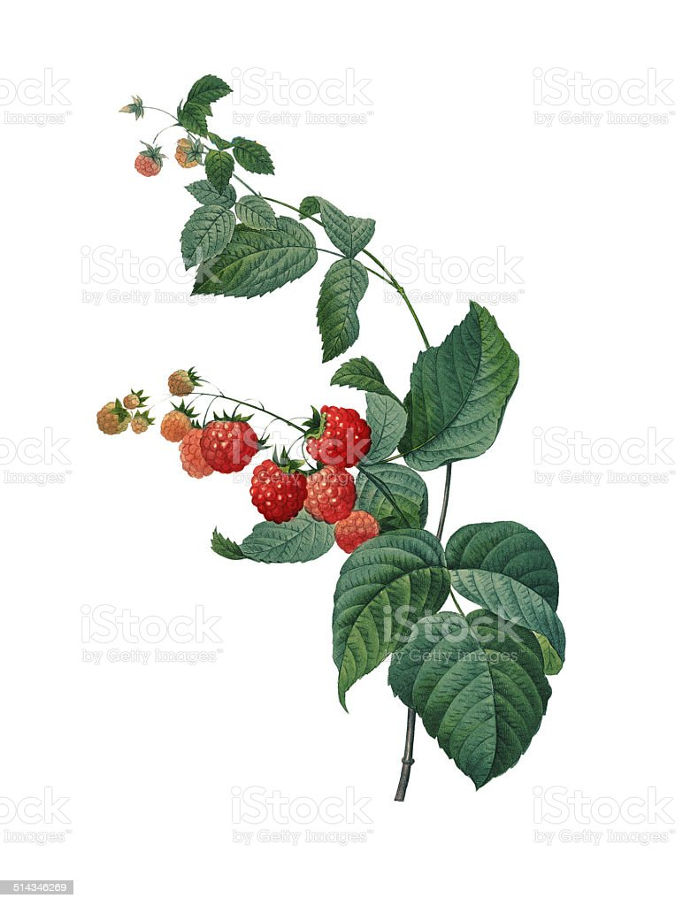 Raspberry | Redoute Botanical Illustrations vector art illustration