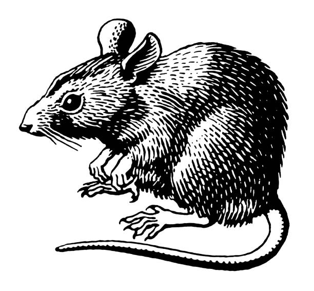 Silhouette Of Scary Rat Illustrations, Royalty-Free Vector