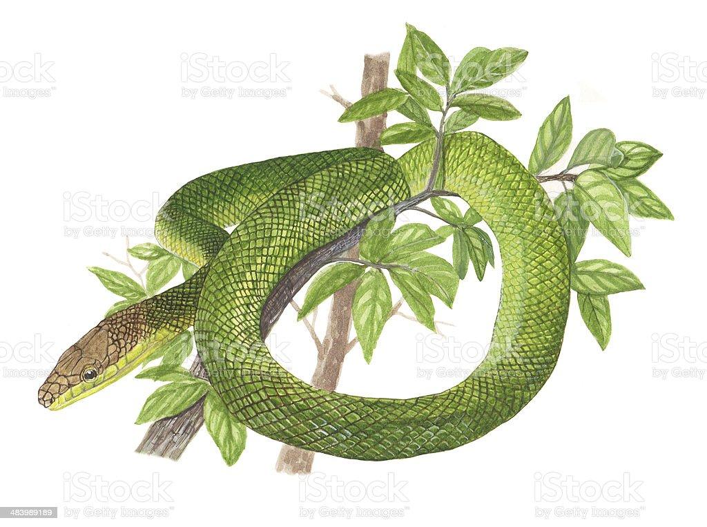 rat snake vector art illustration