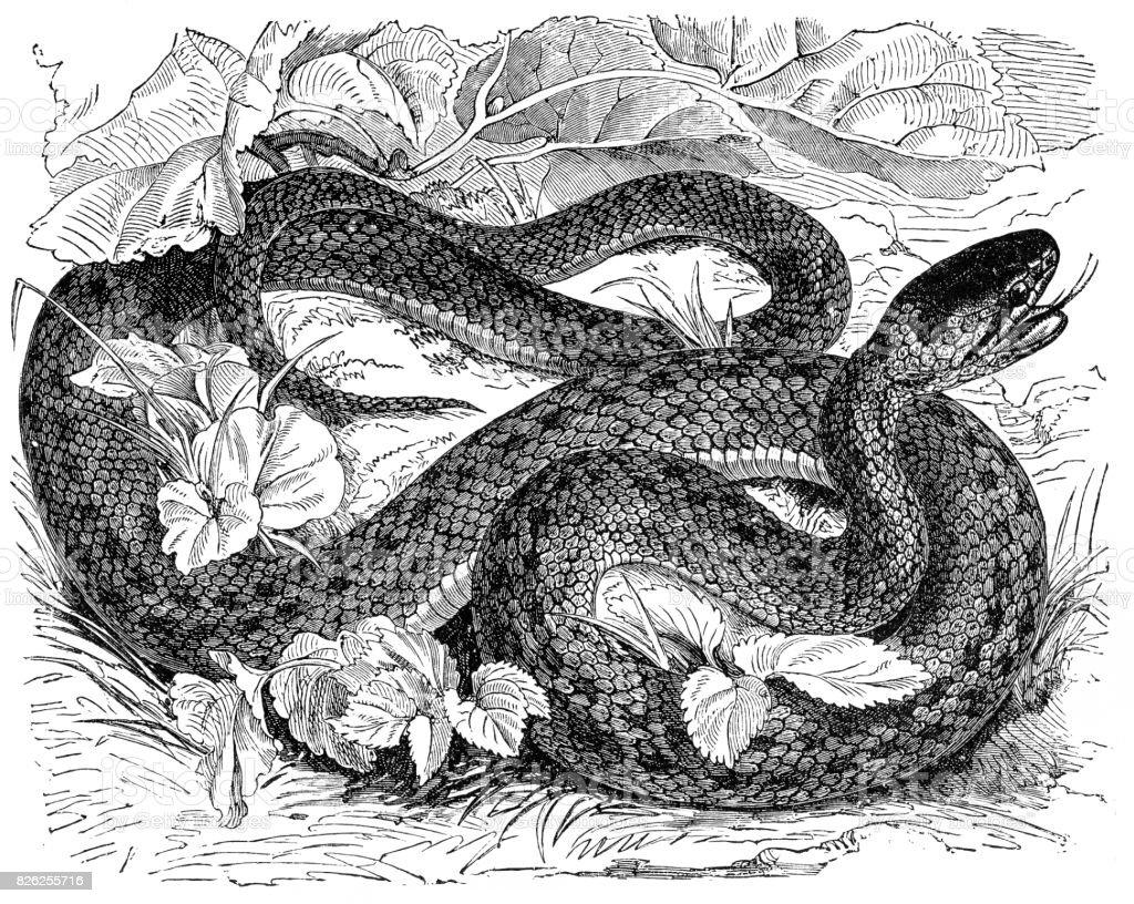 Rat snake (coronella laevis) vector art illustration