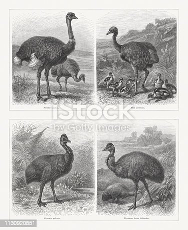 Ratite birds: Common ostrich (Struthio camelus); Greater rhea (Rhea amercana); Southern cassowary (Casuarius casuarius, or Casuarius galeatus); Emu (Dromaius Novaehollandiae, or Dromaeus Novae Hollandiae). Wood engravings after drawings by Friedrich Specht (German animal painter, 1839 - 1909), published in 1897.