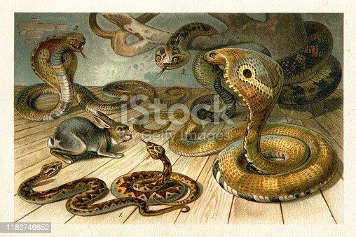 1. Crossed viper ( Vipera berus ) 2. Binocellate or Indian cobra ( Naja naja ) 3. Rattlesnake ( genus Crotalus / Sistrurus ) Original edition from my own archives Source :