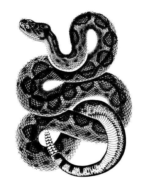 Rattlesnake Rattlesnake snake stock illustrations
