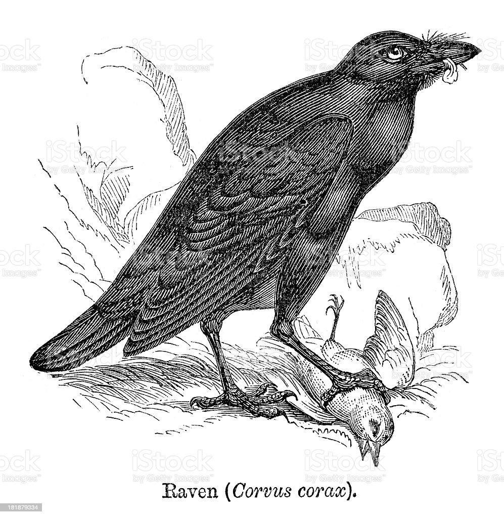 Raven royalty-free stock vector art