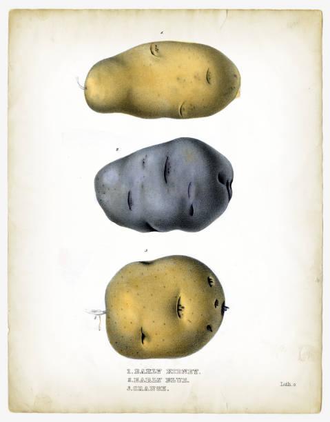 raw potatoes illustrations 1849 - raw potato stock illustrations