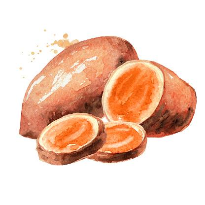 Raw sweet potato batat. Watercolor hand drawn illustration, isolated on white background