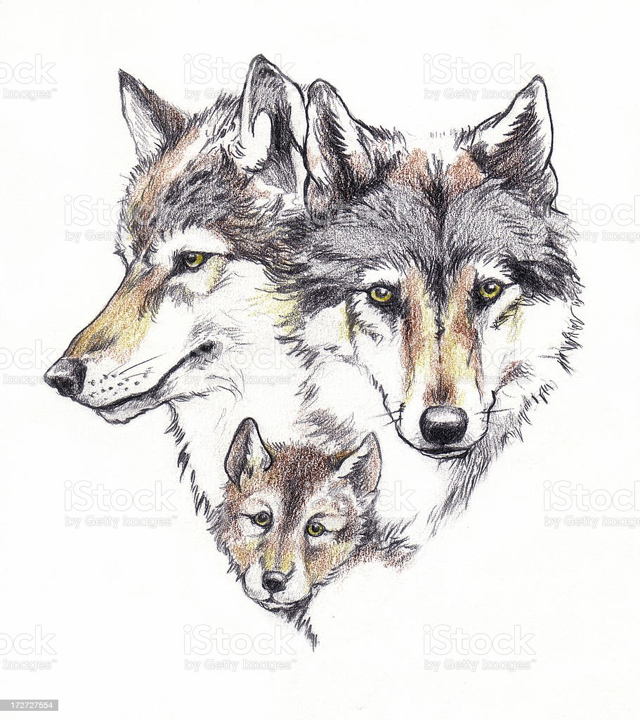 real wolfes drawing royalty-free stock vector art
