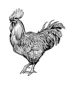 Realistic rooster or cock hand drawn in vintage engraving or woodcut style. Domestic fowl, poultry farm bird. Illustration for banner, poster, flyer, postcard, t-shirt print, advertisement.