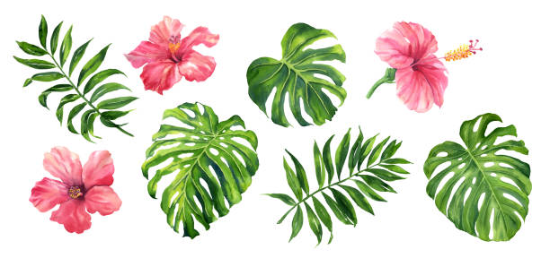 bildbanksillustrationer, clip art samt tecknat material och ikoner med realistiska tropiska botaniska gröna växter. uppsättning av tropiska blad och blommor: gröna palm neanta, monstera, hibiscus. hand målade akvarell illustration isolerade på vitt. - green leaves illustration