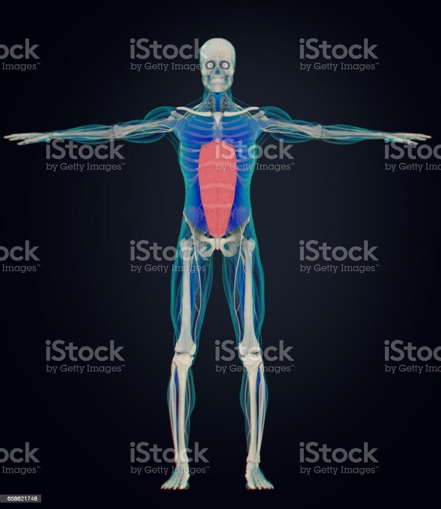 Rectus Abdominus, stomach muscles, human anatomy. 3d illustration. vector art illustration