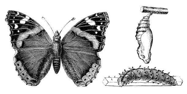 stockillustraties, clipart, cartoons en iconen met nummervlinder (vanessa atalanta) - larve