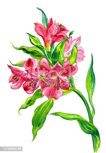 Red Alstroemeria flowers (Lily of the Incas), watercolor illustration on white background, floral print for poster, painting, greeting card, home furnishings lecor, etc.