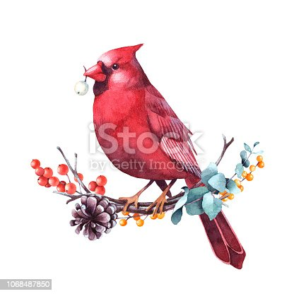 Red cardinal sitting on a twig of eucalyptus and berries. Isolated watercolor christmas illustration.