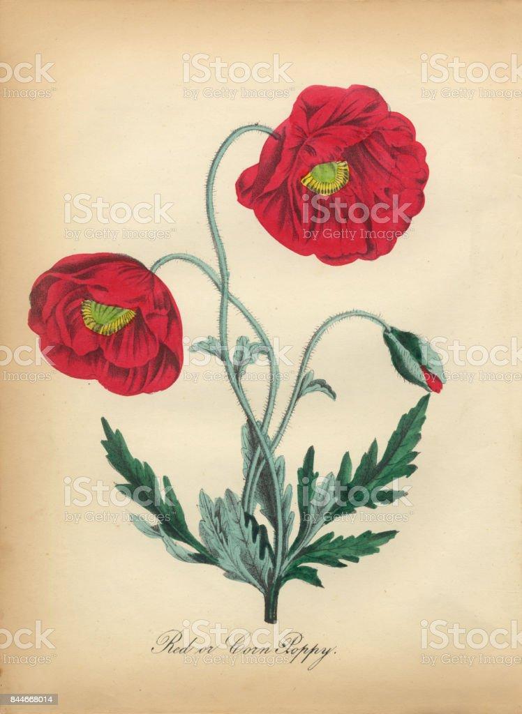 Ilustración botánica victoriano rojo amapola - ilustración de arte vectorial