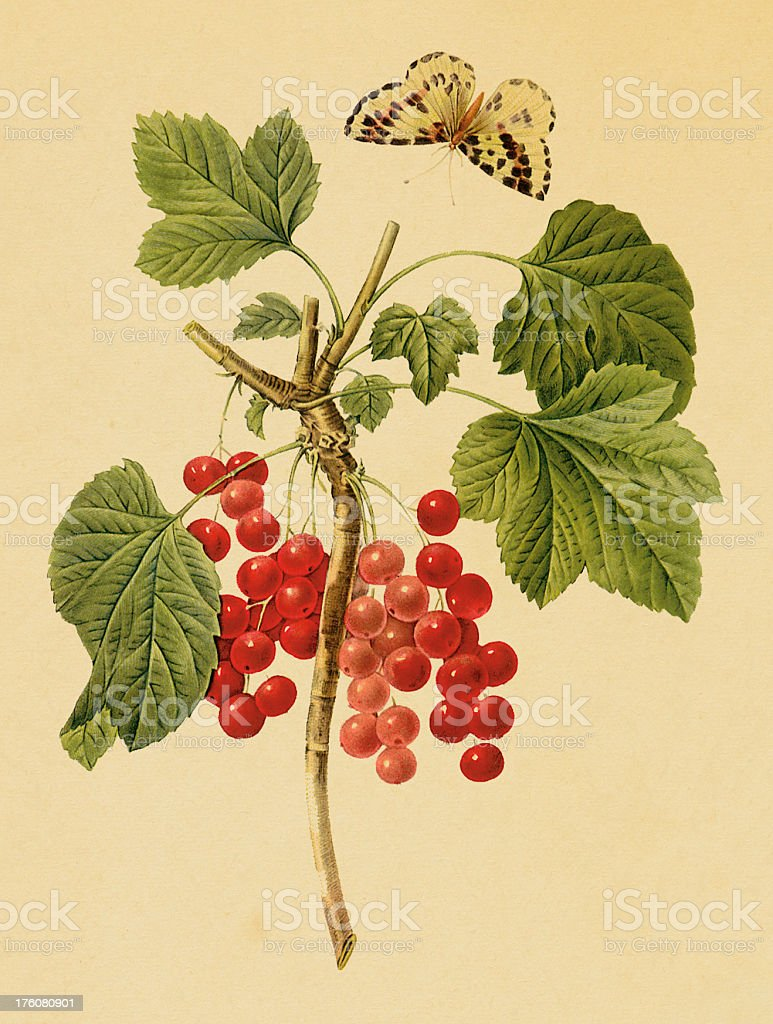 Red currant | Antique Flower Illustrations vector art illustration