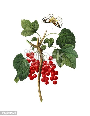 istock Red currant | Redoute Flower Illustrations 513106095