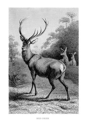 Red Deer Engraved Illustration