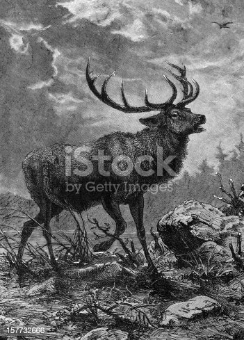Red Deer Stag - 19th century Engraving