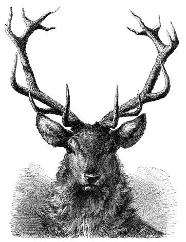 Red Deer Stag Head - 19th century Engraving