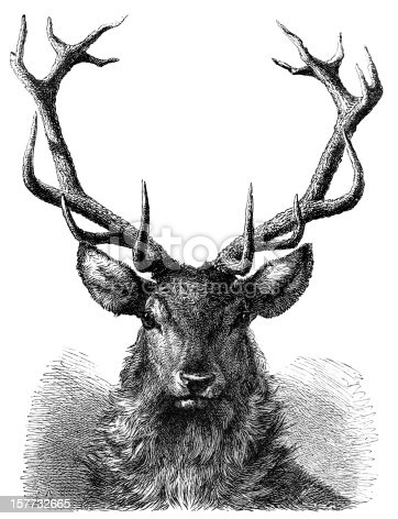 Red Deer Stag Head - 19th century Engraving