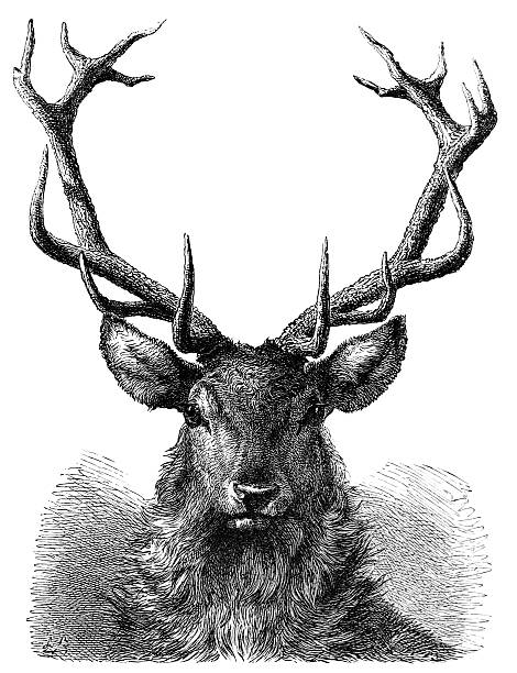 red deer stag head engraving - deer antlers stock illustrations, clip art, cartoons, & icons