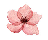 Red delicate, transparent poppy flowers with veins, watercolor on a white background. For wedding designs and postcards.
